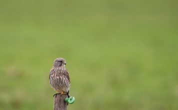 Kestrel chicks rescued from Airbus